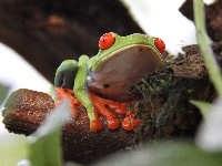 Rotaugen-Laubfrosch