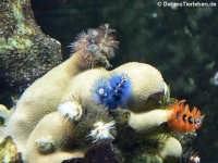 Bunter Spiralröhrenwurm (Spirobranchus giganteus)