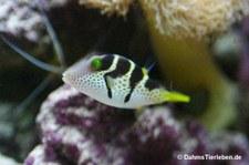 Sattel-Spitzkopfkugelfisch (Canthigaster valentini)