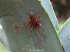 Kleiner Asseljäger (Dysdera erythrina) im Garten