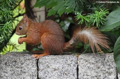 Eichhörnchen (Sciurus vulgaris fuscoater)