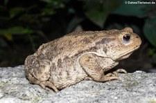 Nachtaufnahme einer Erdkröte (Bufo bufo) im Garten