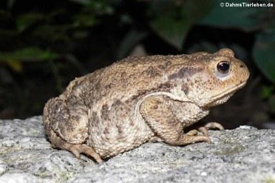 Erdkröte im Gartenteich (Bufo bufo)