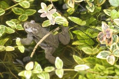 Erdkröte und Laich-Schnüre