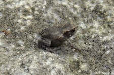 Junge Erdkröte (Bufo bufo) im Garten