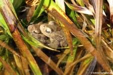 Erdkröten (Bufo bufo) im Gartenteich