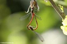 Frühe Adonislibelle (Pyrrhosoma nymphula) im Garten
