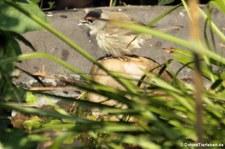 Europäische Mönchsgrasmücke (Sylvia atricapilla atricapilla) im Garten
