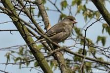 männlicher Grünfink (Chloris chloris) im Garten