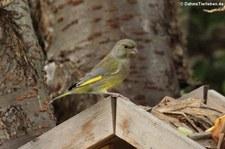 weiblicher Grünfink (Chloris chloris) im Garten