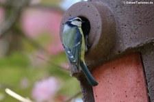 Blaumeise (Cyanistes caeruleus caeruleus) im Garten