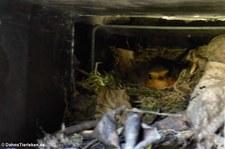 Nest der Rotkehlchen (Erithacus rubecula rubecula) im stillgelegten Mauerkasten einer Abzugshaube