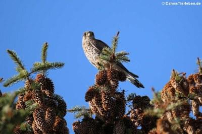 Turmfalke (Falco tinnunculus tinnunculus)