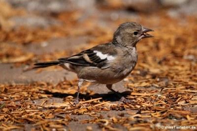 weiblicher Buchfink (Fringilla coelebs coelebs)