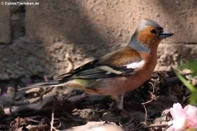 männlicher Buchfink (Fringilla coelebs coelebs)