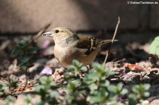 weiblicher Buchfink (Fringilla coelebs coelebs) im Gartend