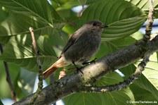 Hausrotschwanz (Phoenicurus ochruros gibraltariensis) im Garten