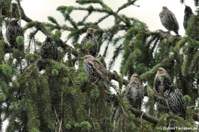 Eine Gruppe Stare (Sturnus vulgaris vulgaris)
