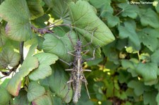 Kleine Dornschrecken (Aretaon asperrimus) bei DahmsTierleben