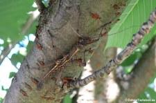 Männliche kleine Dornschrecke (Aretaon asperrimus) bei DahmsTierleben