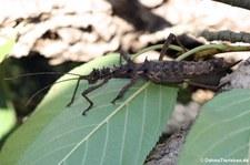 Weibliche kleine Dornschrecke (Aretaon asperrimus) bei DahmsTierleben