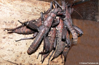 adulte Riesengespenstschrecken
