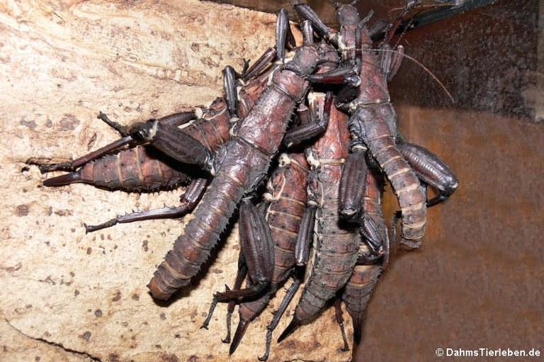 Eurycantha calcarata