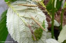 Junge Riesengespenstschrecken (Eurycantha calcarata) bei DahmsTierleben