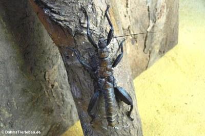männliche Riesengespenstschrecke