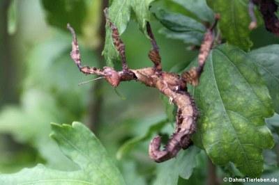 weiblliche Riesengespenstschrecke
