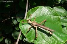 Männliche Malaiische Riesengespenstschrecke (Heteropteryx dilatata) bei DahmsTierleben
