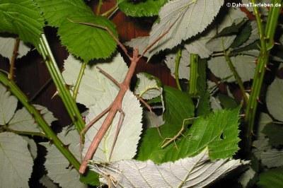 Weibliche Annam-Stabschrecke (Medauroidea extradentata) und Jungtiere
