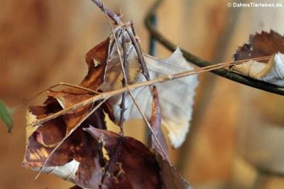 Weibliche Annam-Stabschrecke (Medauroidea extradentata)