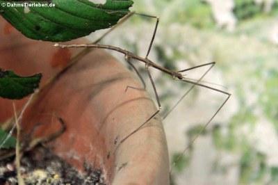 Männliche Annam-Stabschrecke (Medauroidea extradentata)