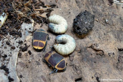 Käfer, Larve und Kokon eines Rosenkäfers (Pachnoda marginata peregrina)