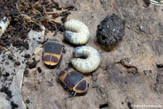 Käfer, Larve und Kokon