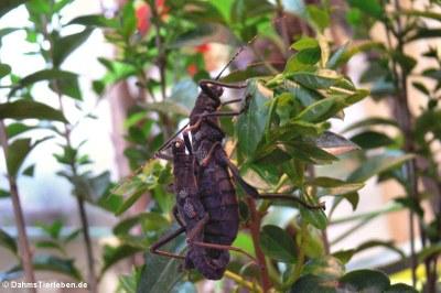 Paarung der Peru-Stabschrecken (Peruphasma schultei)