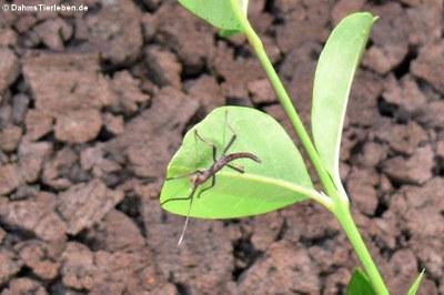 Junge Peru-Stabschrecke (Peruphasma schultei)
