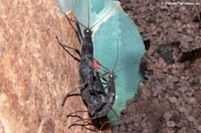 Peru-Stabschrecken (Peruphasma schultei) bei DahmsTierleben