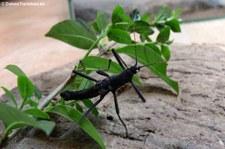 Peru-Stabschrecke (Peruphasma schultei) bei DahmsTierleben