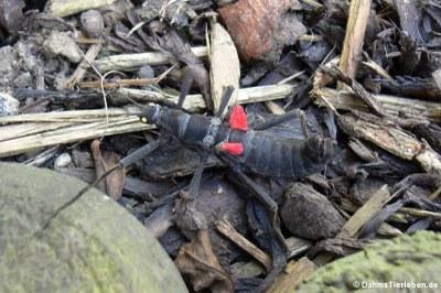 Peru-Stabschrecke (Peruphasma schultei)