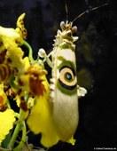 Blütenmantis (Pseudocreobotra ocellata), aufgenommen bei DahmsTierleben