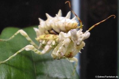 Westafrikanische Mantis (Pseudocreobotra ocellata) in DahmsTierleben