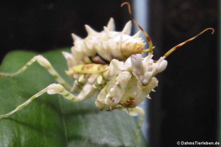Pseudocreobotra ocellata
