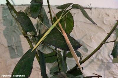 Geflügelte Stabschrecken (Sipyloidea sipylus)