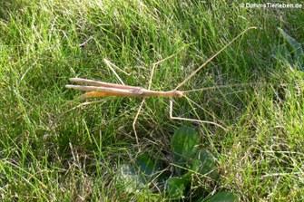 Geflügelte Stabschrecke (Sipyloidea sipylus)