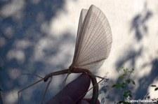 Rosa Geflügelte Stabschrecke (Sipyloidea sipylus) bei DahmsTierleben