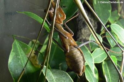 Weibchen haben 6 Segmente
