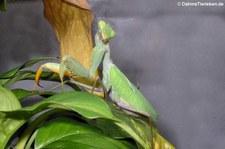 Ghana-Gottesanbeterin (Sphodromantis lineola), aufgenommen bei DahmsTierleben