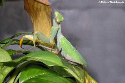 Ghana-Gottesanbeterinnen (Sphodromantis lineola)